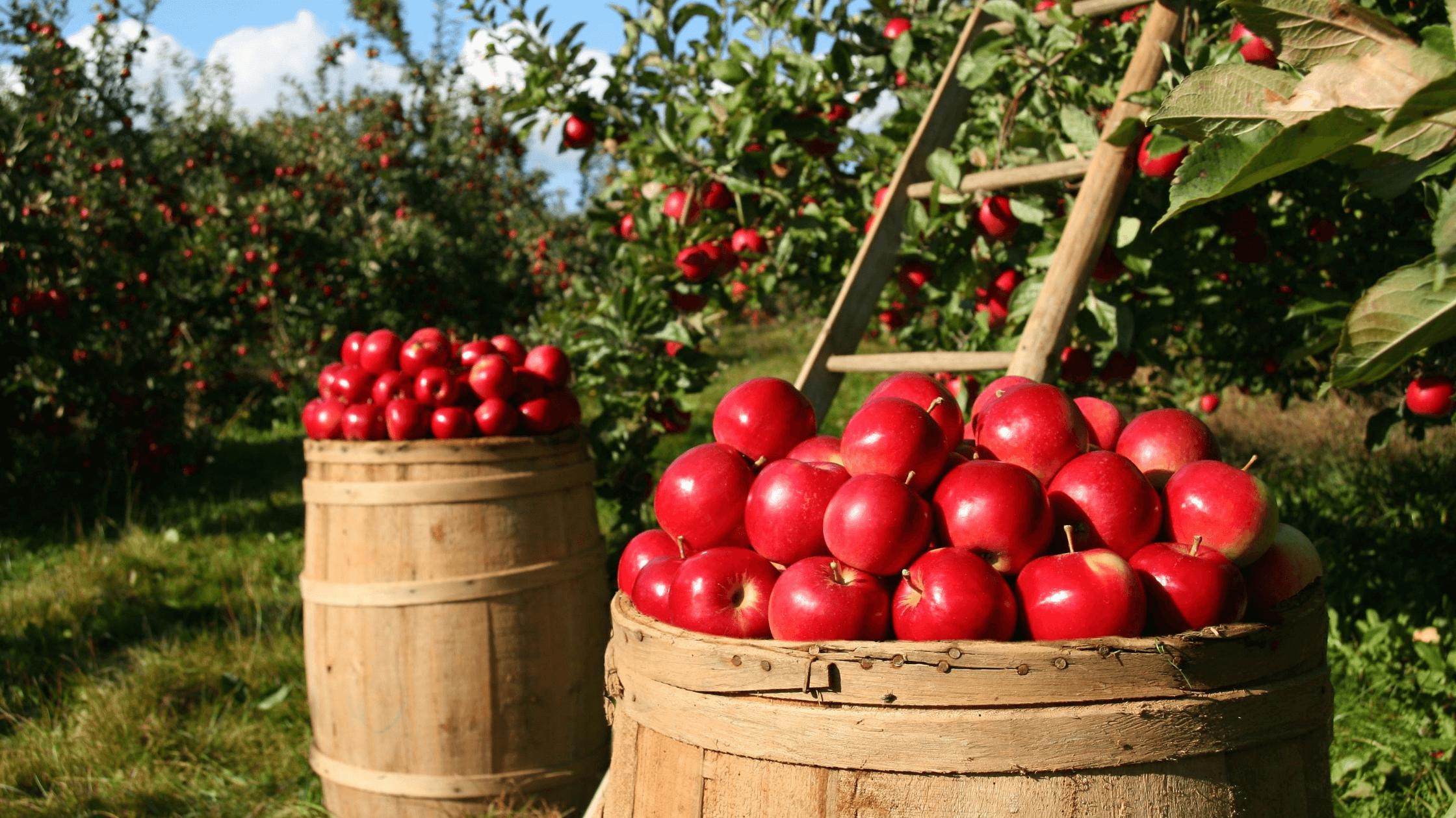 Pick your own apples Tasmania